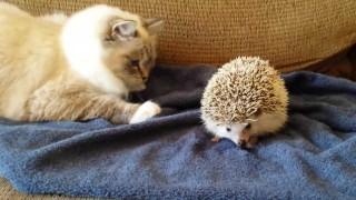 貓咪誤把刺蝟當坐墊影片