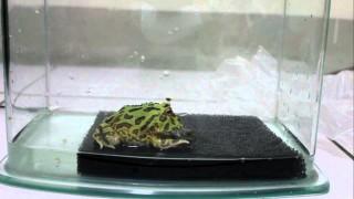 青蛙竟然會互相吃掉對方影片